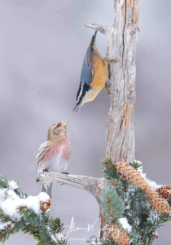 Common Redpoll and a Red-breasted Nuthatch