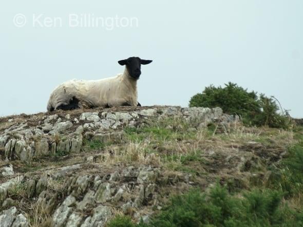Sheep (Ovis aries) (01)
