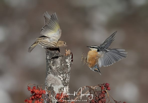 Pine Siskin and a Red-breasted Nuthatch