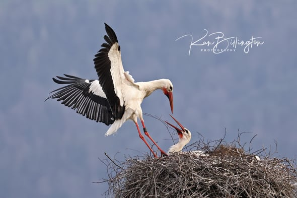 Touch Down - White Storks