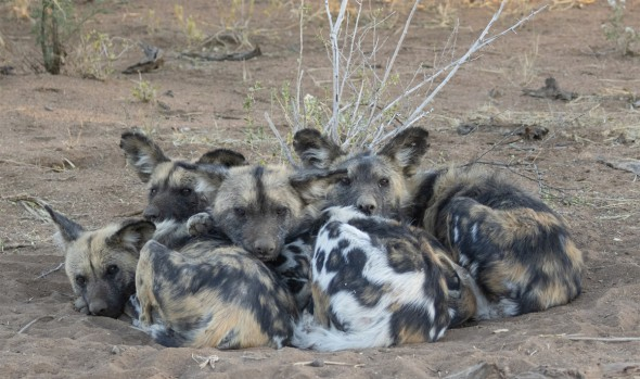 African Wild Dogs Cold Early Morning Huddle