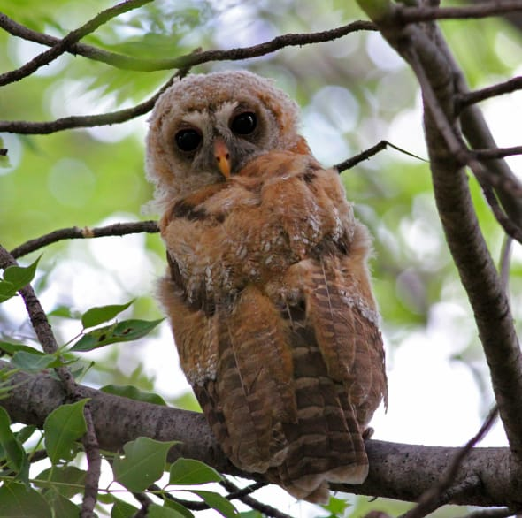 Juvenile African Wood Owl