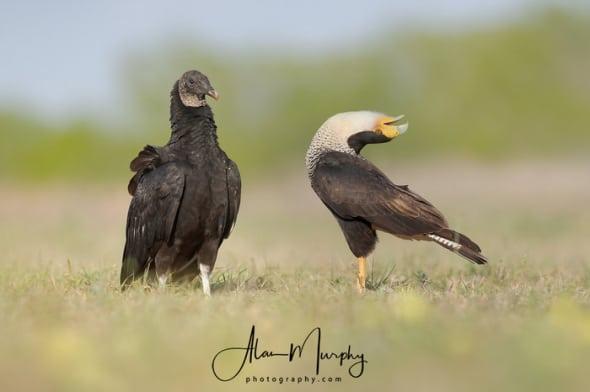Black Vulture and Caracara