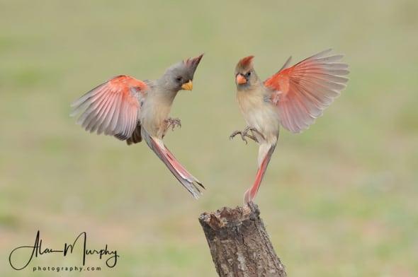 Female Pyrrhuloxia and Cardinal