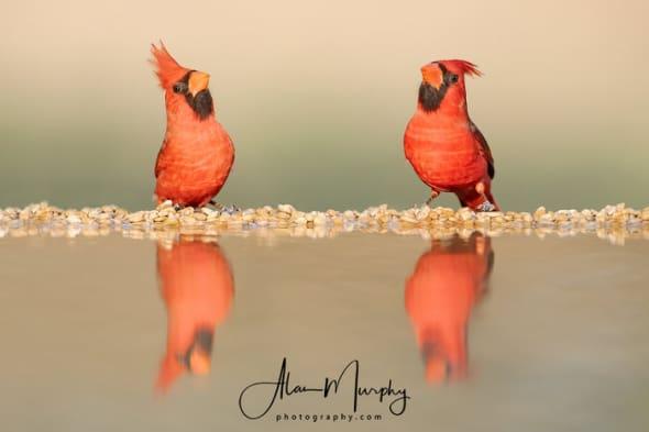 Male Cardinals