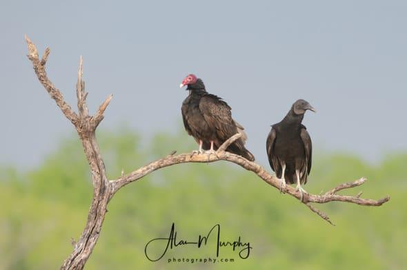 Turkey and Black Vulture