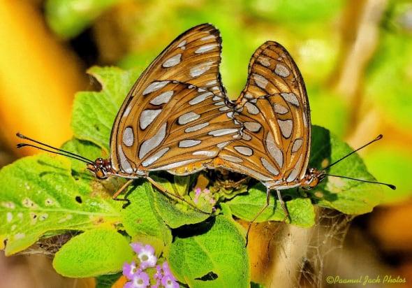 Agraulis Butterflies Mating