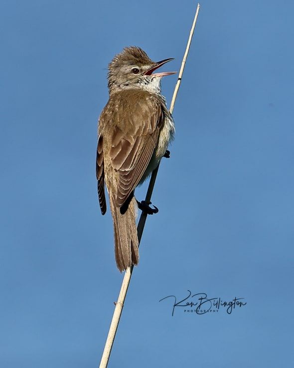 Calling for His Mate - Reed Warbler
