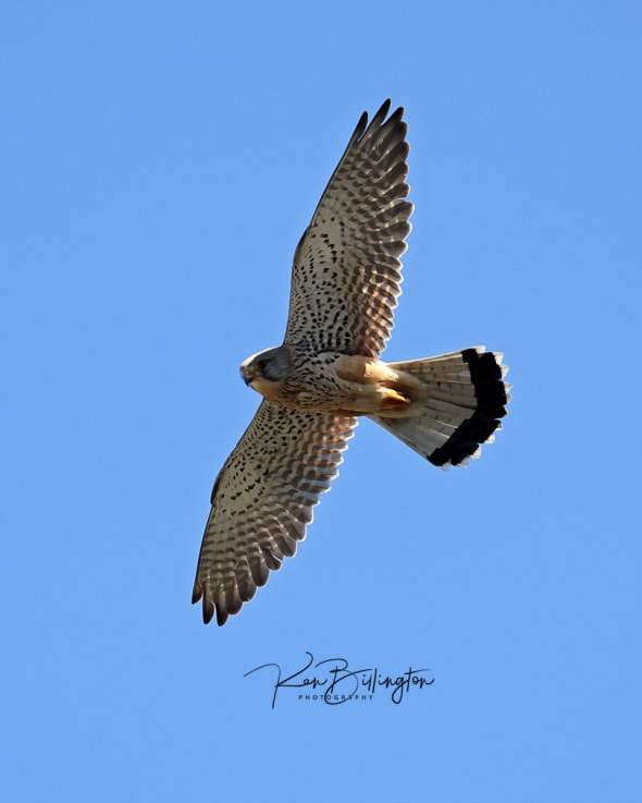 Kestrel in Flight