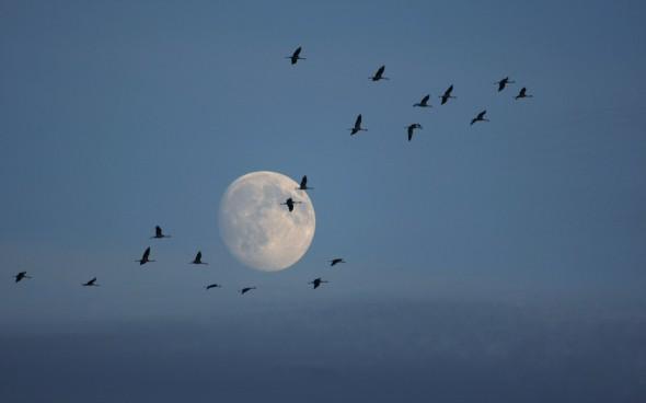 Cranes at Twilight