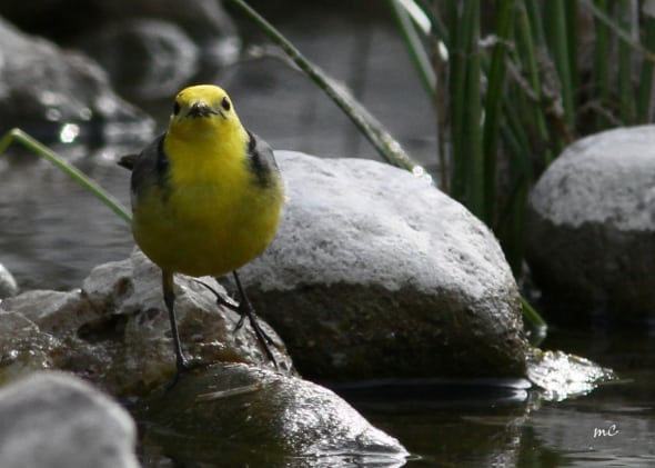 Citril Wagtail by the Stream