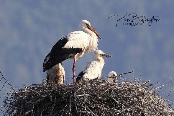 Happy Family - White Storks