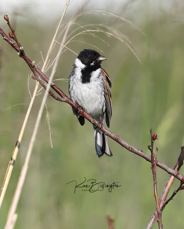 Reed Bunting in Full Song