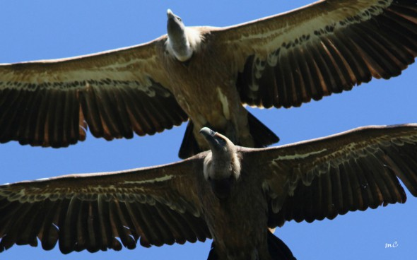 Flying Over - Griffon Vultures