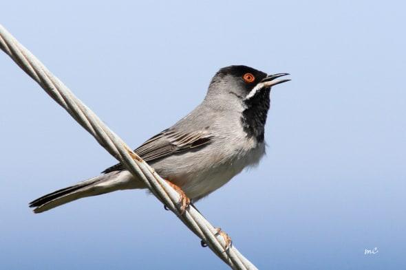 Rüppell's Warbler (Curruca Ruppeli)