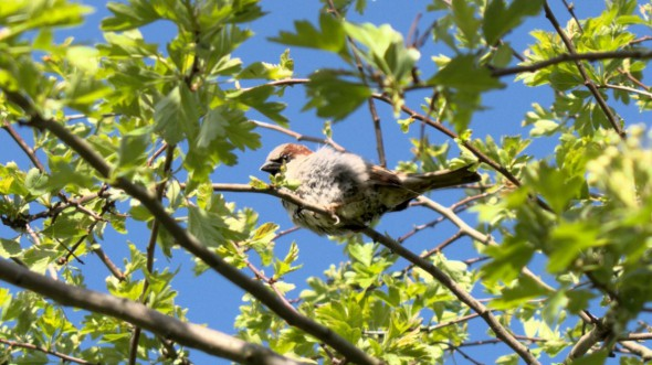 Sparrow, Captain Sparrow