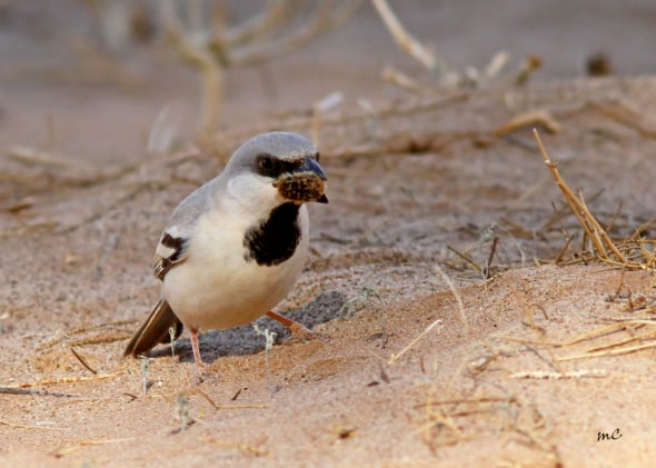 Desert Sparrow About to Swallow a Bee