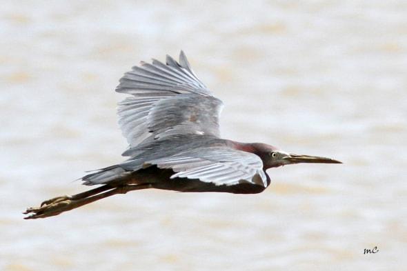 Little Blue Heron, an Adult