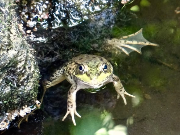 Hey, I Was Just Leaving (Green Frog)