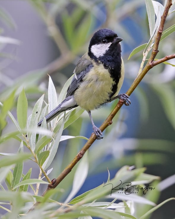 Hunting for Caterpillars - Great Tit