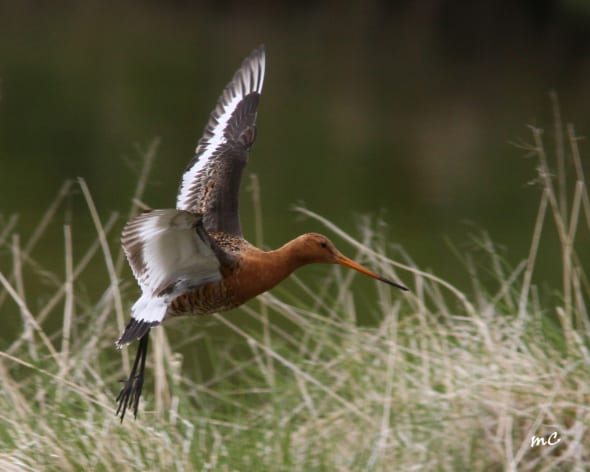 Black-tailed Godwit Ssp Islandica