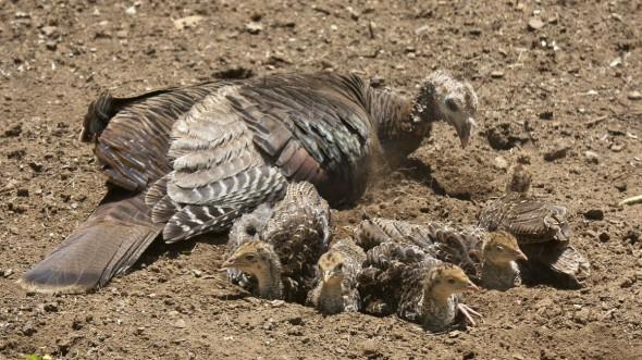 Turkey Dust Bath
