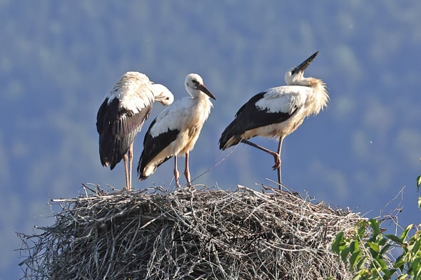 Almost Ready to Fly - Juvenile White Storks