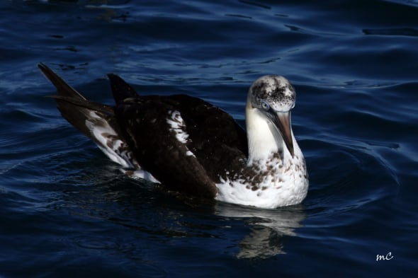 Young Northern Gannet