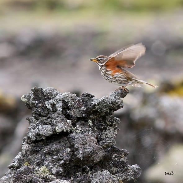 Redwing (Turdus Iliacus) in Black Lava