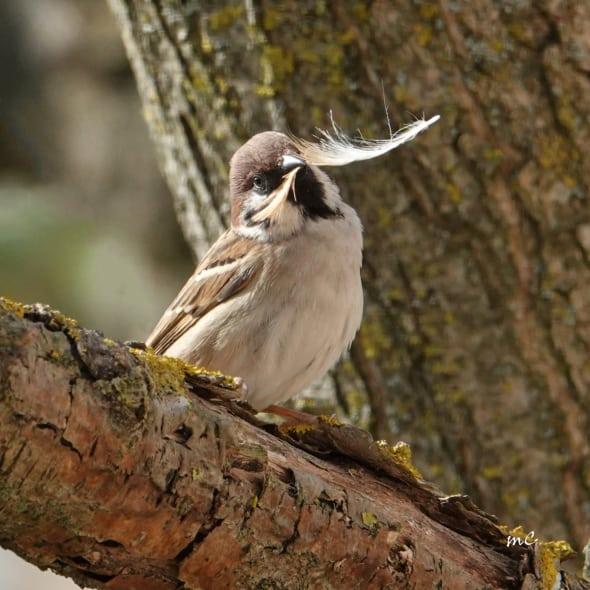 Eurasian Tree Sparrow at Work