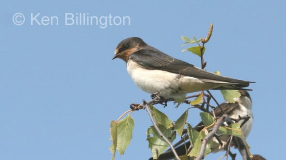 Barn Swallow (Hirundo rustica) (1)