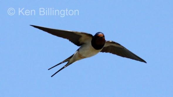 Barn Swallow (Hirundo rustica) (14)