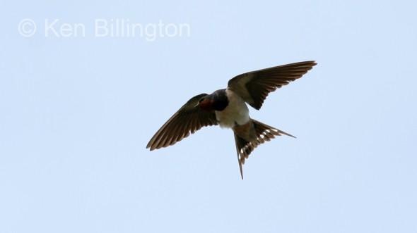 Barn Swallow (Hirundo rustica) (4)