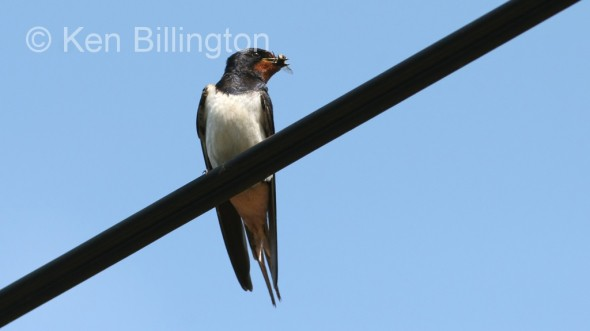Barn Swallow (Hirundo rustica) (5)