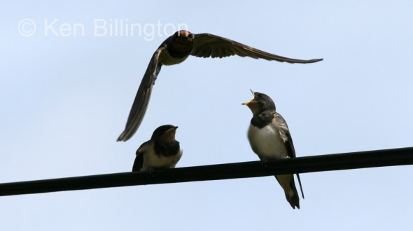 Barn Swallow (Hirundo rustica) (9)