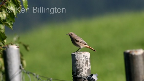 Black Redstart (Phoenicurus ochruros) (1)