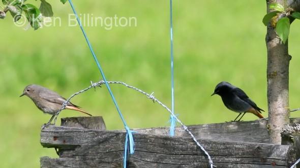 Black Redstart (Phoenicurus ochruros) (3)
