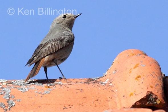 Black Redstart (Phoenicurus ochruros) (8)