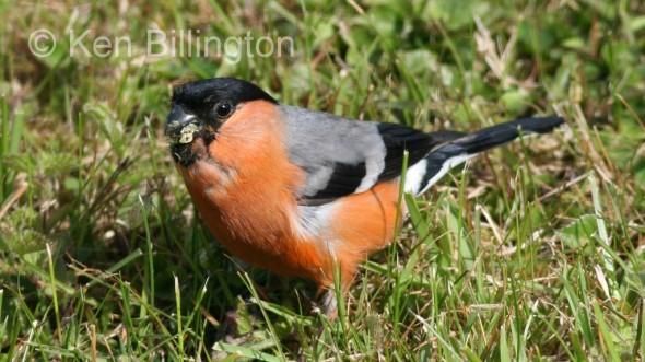 Bullfinch (Pyrrhula pyrrhula) (13)