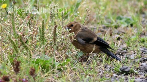 Bullfinch (Pyrrhula pyrrhula) (6)