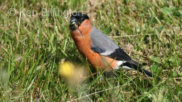 Bullfinch (Pyrrhula pyrrhula) (8)