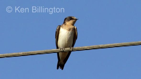 Cave Swallow (Petrochelidon fulva) (1)