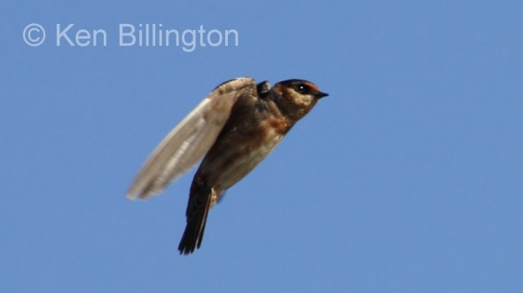 Cave Swallow (Petrochelidon fulva)