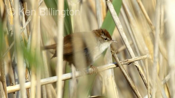 Cetti`s Warbler (Cettia cetti) (1)