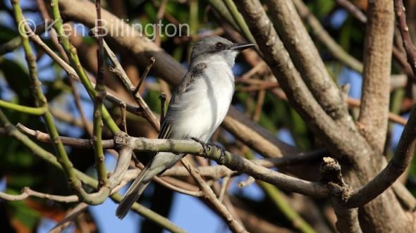 Gray Kingbird (Tyrannus dominicensis)