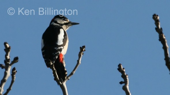 Great Spotted Woodpecker (Dendrocopos major) (1)