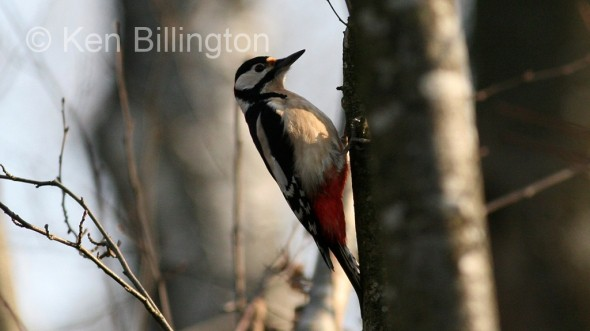 Great Spotted Woodpecker (Dendrocopos major) (5)