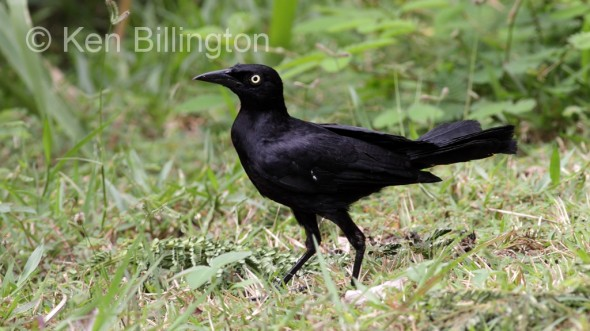 Greater Antillean Grackle (Quiscalus niger) (1)