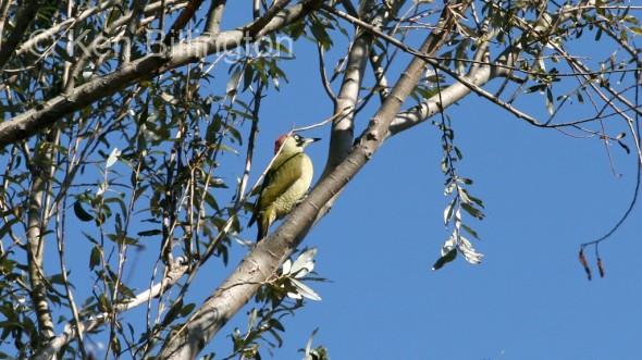 Green Woodpecker (Picus viridis) (1)