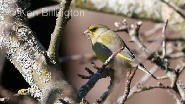 Greenfinch (Carduelis chloris) (1)